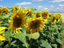 Cultvation van zonnebloemen royalty-vrije stock fotografie