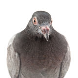 Culver. Wild pigeon isolated on white background Stock Photos