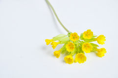 Culverkeys flowers, primula veris Stock Photography