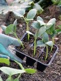 Cumberjonge planten Stock Afbeelding