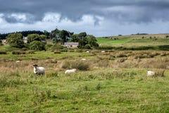 CUMBRIA, UK/EUROPE - 8月20日:一个绵羊农场的看法在Cumbria 库存图片