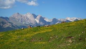 Cume e vacas bonitos e nas montanhas distintivas da dolomite do fundo Imagem de Stock Royalty Free
