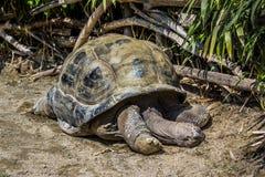 Cumiana Torino/Italien 05-15-2015: 113 år gammal jätte- sköldpadda royaltyfri fotografi