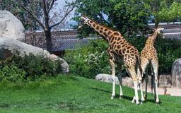 Giraffes walking on park royalty free stock images