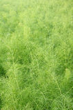 Cumin. The backgrond of cumin field. Scientific name: Foeniculum vuLgare Royalty Free Stock Photos
