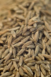 Cumin Cuminum cyminum Stock Photo