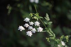 Cumin flower Stock Photography