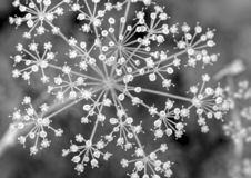 CUMIN FLOWERS IN BLACK AND WHITE. Family Apiaceae, native to a territory including the Middle East and stretching east to India royalty free stock photos