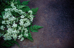Cumin flowers on a dark grunge background Royalty Free Stock Photo