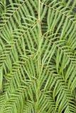 Cumingii van Cibotium van de Varen van de boom royalty-vrije stock afbeeldingen
