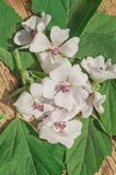 Cummon Marshmallow Althaea officinalis. Wild flower Althaea officinalis. Marsh mallow summer flowers. Marshmallow flower on wooden table royalty free stock images