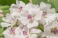 Cummon Marshmallow Althaea officinalis. Wild flower Althaea officinalis. Marsh mallow summer flowers. Marshmallow flower on wooden table royalty free stock photos
