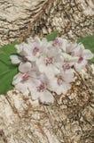 Cummon Marshmallow Althaea officinalis. Wild flower Althaea officinalis. Marsh mallow summer flowers. Marshmallow flower on wooden table stock images