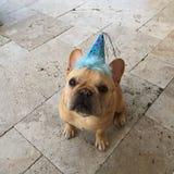 Cumpleaños del dogo francés imágenes de archivo libres de regalías