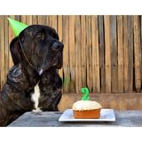 Cumpleaños del mastín Imagen de archivo libre de regalías
