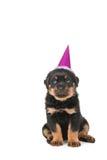 Cumpleaños del perrito de Rottweiler feliz Fotografía de archivo