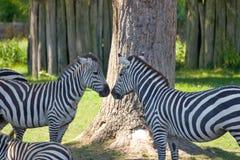 Cumprimento da zebra Imagem de Stock Royalty Free