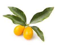 Cumquat枝杈 免版税库存照片