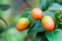 Cumquat,金桔,橙色与在背景关闭隔绝的叶子 免版税库存照片