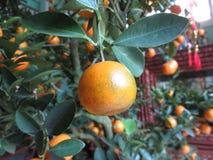 Cumquat äger rum för den Tet ferien royaltyfri fotografi
