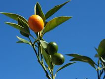 Cumquat Stock Images