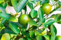 Cumquat, kumquat, pomarańcze z liściem odizolowywającym na tła zakończeniu Obraz Royalty Free