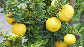 Cumquat owoc na drzewie Obraz Stock