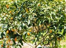 Cumquats на Корфу стоковые фотографии rf