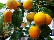 Cumquats dei kumquat di fortunella margarita fotografie stock libere da diritti