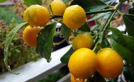 Cumquats dei kumquat di fortunella margarita fotografie stock