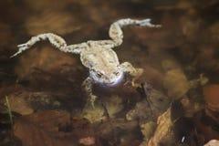 Cumuje żaby W wodzie fotografia royalty free