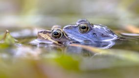Cumuje żaby pary submersed w wodzie Fotografia Royalty Free