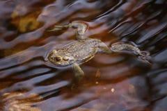 Cumuje żaby W wodzie Zdjęcia Royalty Free