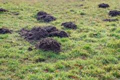 Cumuli di terra sollevati dalla talpa freschi in erba rugiadosa dalla fine Immagine Stock Libera da Diritti