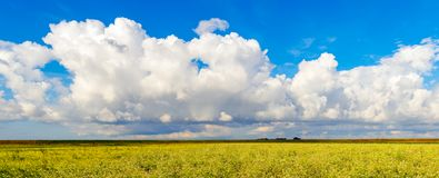 Cumulus clouds above a yellow flowering colza field. Cumulus clouds in a bright blue sky above a yellow flowering colza field in the Netherlands. In the Stock Photography
