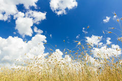 Cumulus clouds on aero blue sky over ripening oat cereal ears field Stock Photos