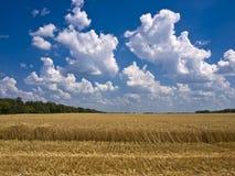 Cumulusoklarheter över ett fält av moget vete Arkivfoton