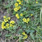 Cuneata Sibbaldia, лист Sibbaldia клина Стоковая Фотография