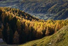 Cuneaz, gelbe Lärchen im Herbst (Nord-Italien) Stockbilder