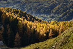 Cuneaz, Yellow larches in autumn (North Italy) Stock Images