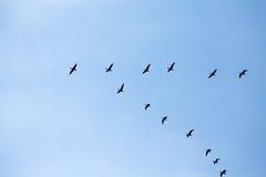 Cuneo delle oche selvatiche di volo Immagini Stock Libere da Diritti