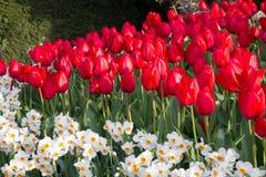 Cunha triangular do escarlate das tulipas com primeiro plano do daff branco fotografia de stock