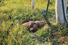 Cunicularia Burrowing adulto difensivo delle atene del gufo appollaiato fuori della sua tana su Marco Island immagine stock