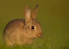 Cuniculus selvagem do Oryctolagus do coelho europeu, juvenil Foto de Stock Royalty Free