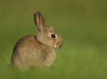 Cuniculus selvagem do Oryctolagus do coelho europeu, juvenil Imagens de Stock