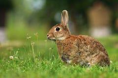 Cuniculus selvatico adulto di oryctolagus del coniglio Fotografie Stock Libere da Diritti