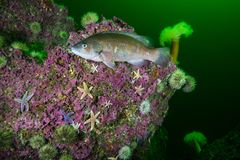 Cunner Fish underwater in the St. Lawrence River in Canada stock photos