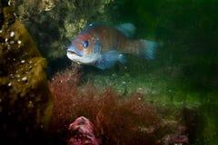 Cunnerfisk som är undervattens- i golfen av St Lawrence i Kanada arkivbilder