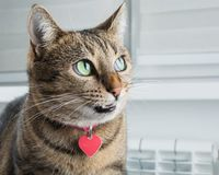 Cunning Bengal cat with a pink collar is grinning intriguingly royalty free stock photos