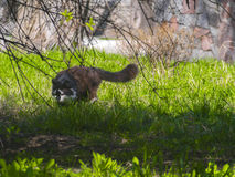 A cunning cat steals on a green lawn royalty free stock images